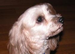 ミックス犬フラッペちゃん