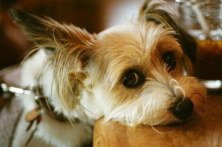 ミックス犬リプリー