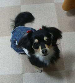 2007年10月ミックス犬 ひじきちゃん