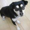 2009年10月ミックス犬 ココちゃん