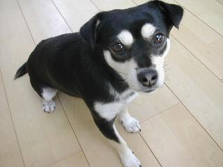 ミックス犬ココ