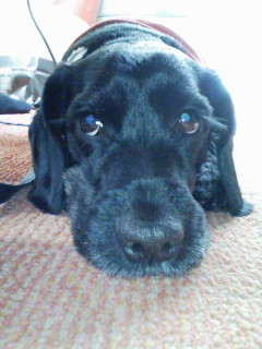 2014年10月ミックス犬 ブルーノくん
