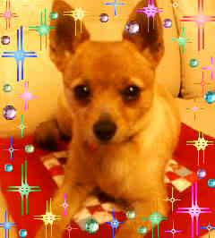 柴犬ミックス犬COCO