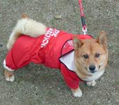 柴犬ミックス犬マーブル