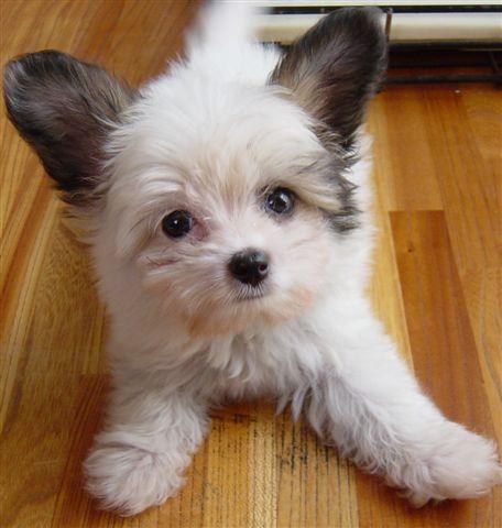 マルチーズの人気ミックス犬の画像紹介 パピマルはマルチーズとパピヨンのミックス犬