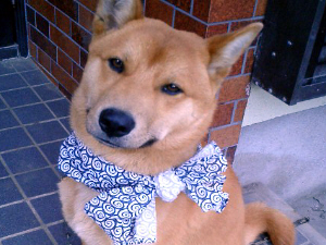 柴犬ミックス犬マーブル武蔵