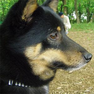 柴犬ミックス犬リン