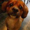シーズーとミニチュアダックスフンドのミックス犬フェイくん♬
