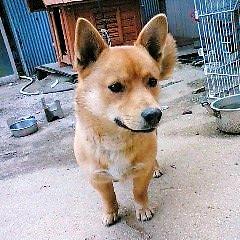 柴犬ミックス犬りゅう