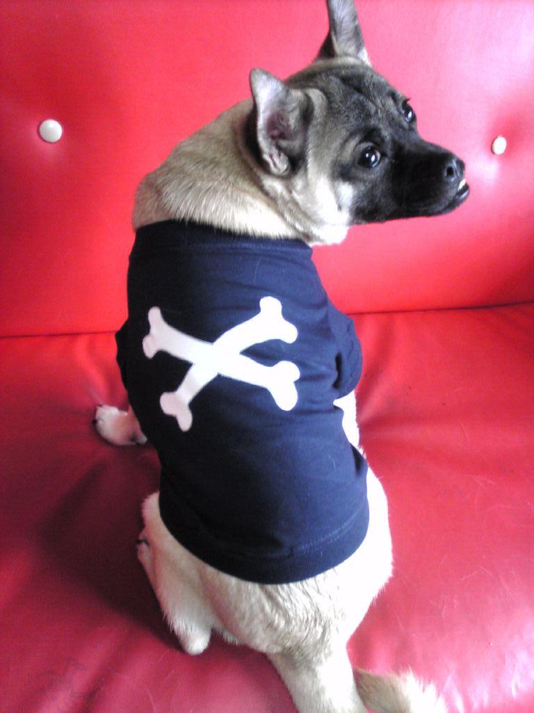 柴犬ミックス犬ヨネ