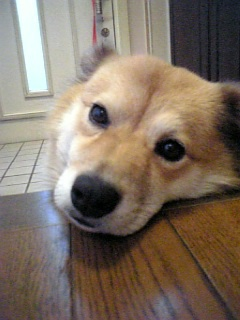 柴犬のミックス犬Ricky