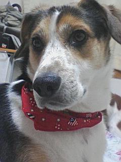11月ミックス犬サンタ