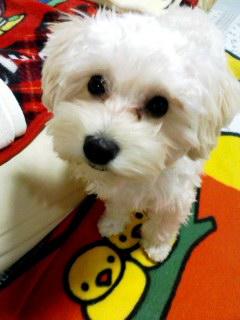 2月ミックス犬コロン