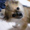 ポメラニアンとチワワのミックス犬ちびりちゃん