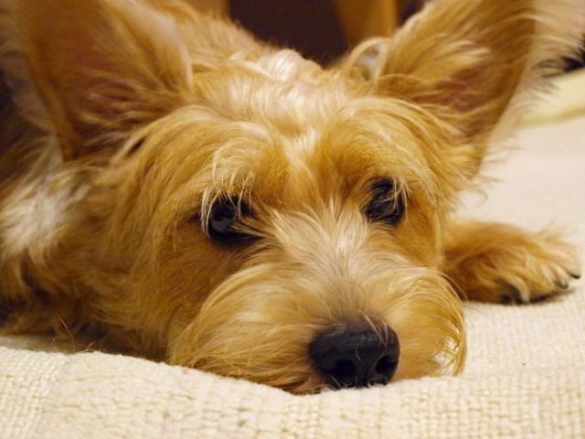シュナウザーとパピヨンのミックス犬
