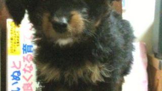 トイプードルのミックス犬 なからちゃん♬