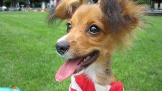 ジャックラッセルテリアとパピヨンのミックス犬 マロンくん♬