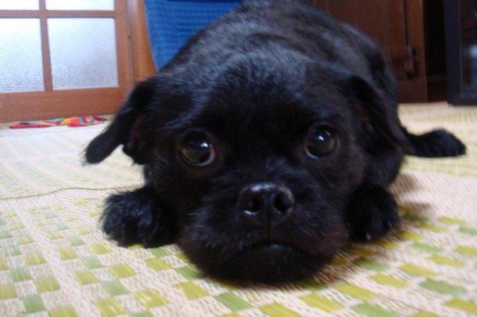トイプードルとパグのミックス犬