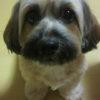 シーズーとミニチュアダックスのミックス犬 くるみちゃん♬