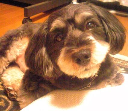 3月ミックス犬ピノ
