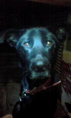ラブラドールレトリーバーのミックス犬