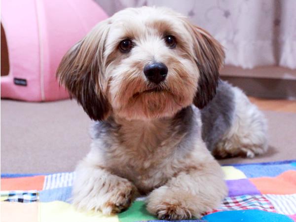 ヨークシャテリアとミニチュアダックスのミックス犬
