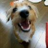 ミニチュアダックスとノーフォークテリアのミックス犬Princessちゃん♬
