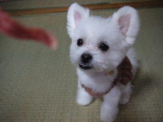 ミックス犬ミルキー