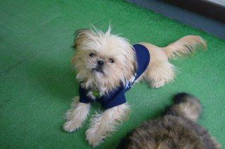 シーズーとチワワのミックス犬