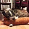 ボストンテリアとシーズーのミックス犬けんしんくん♬