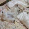 マルチーズとポメラニアンのミックス犬かんなちゃん♬