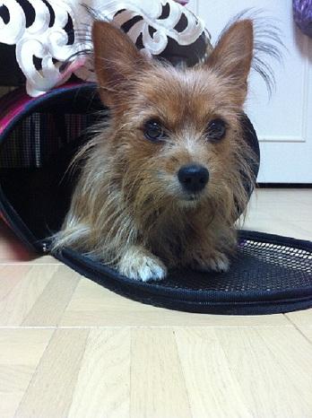 ヨークシャテリアとパピヨンのミックス犬こまちちゃん♬