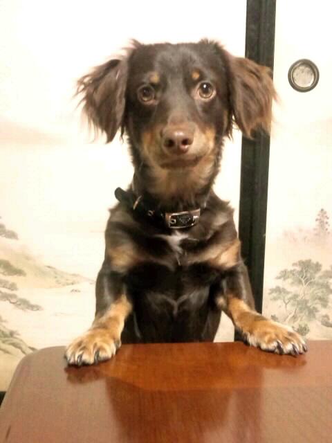 ミニチュアダックスとチワワのミックス犬 ニコくん♬