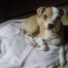 チワワとイタリアングレーハウンドのミックス犬アポロちゃん♬