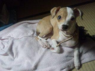 ミックス犬アポロ