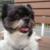 シーズーとチワワのミックス犬もゥちゃん♬