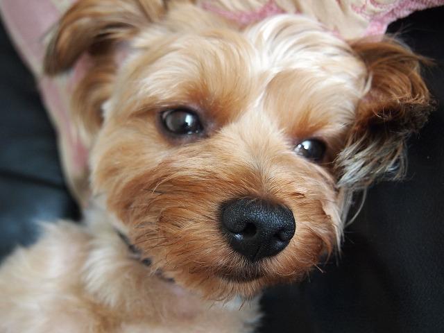 ヨークシャーテリアとマルチーズのミックス犬もんくん♬