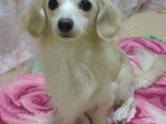 ミニチュアダックスとチワワのミックス犬happy*ちゃん♬