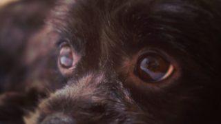 チワワとトイプードルのミックス犬モモちゃん♬