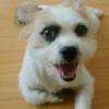 ペキニーズとジャックラッセルテリアのミックス犬爛丸(らんまる)くん♬