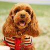 トイプードルとチワワのミックス犬茶太郎くん♬