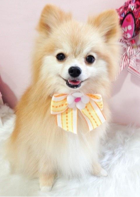 パピヨンとポメラニアンのミックス犬おんぷちゃん♬