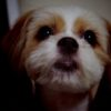 シーズーとパピヨンのミックス犬美らちゃん♬