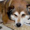 アラスカンマラミュートのミックス犬リョウくん♬