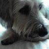 ミニチュアダックスとミニチュアシュナウザーのミックス犬こてつくん♬