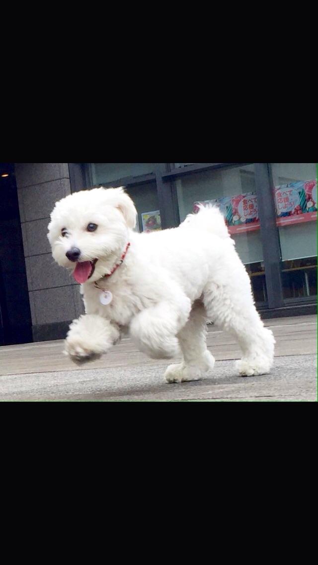 トイプードルとチワワのミックス犬カン太 くん♬