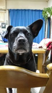 ラブラドールレトリーバーとフレンチブルドッグのミックス犬