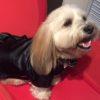 チャイニーズ・クレステッド・ドッグとトイプードルのミックス犬ぷーすけくん♬