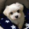 ペキニーズとマルチーズのミックス犬 空翔(ソラ)くん♬