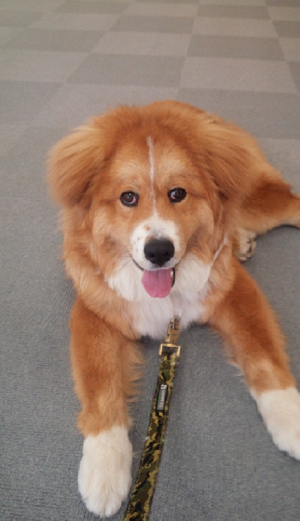 秋田犬とバーニーズマウンテンドッグのミックス犬ページ